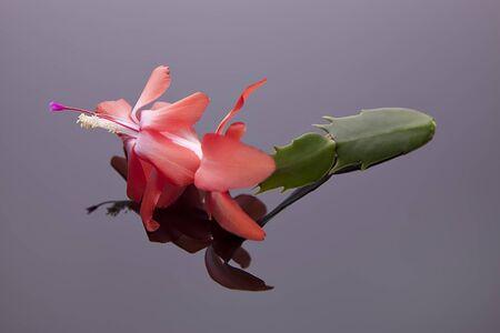 christmas cactus: Christmas cactus flower. Stock Photo