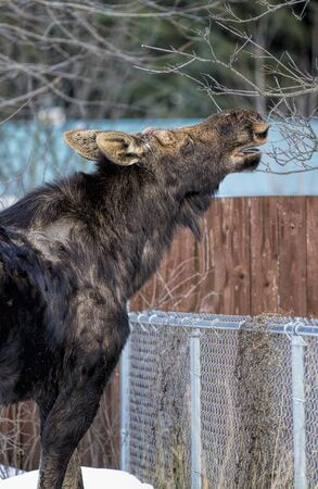 Young moose eating from a tree.