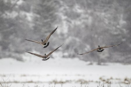 migrate: Geese in flight in the winter at Hauser Lake, Idaho.