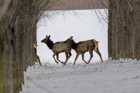 Some elk running through orchard near Rathdrum, Idaho. Stock Photo