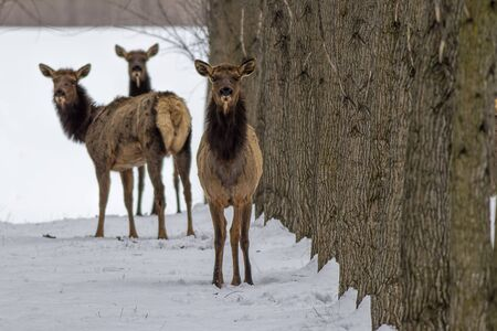 Three elk looking at the camera in an orchard near Rathdrum, Idaho. Stock Photo
