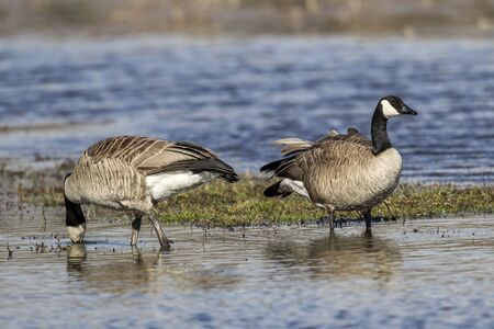 A couple of Canadian Geese are wading in the water of Hauser Lake, Idaho.