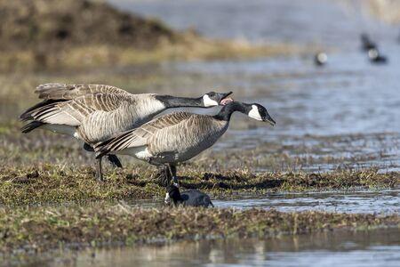 Goose honks next to another goose at Hauser Lake, Idaho.