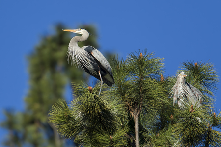 Heron perched on a branch by Fernan Lake in north Idaho.