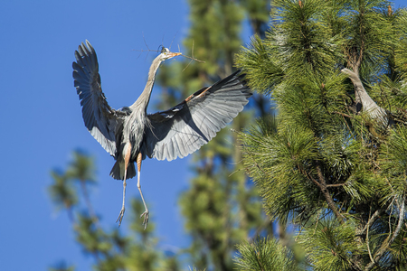 Heron flies in with twig to build a nest by Fernan Lake in north Idaho.