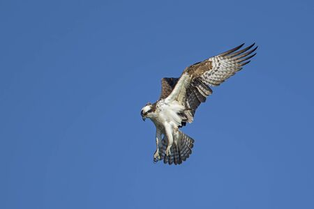 An osprey hovers up in the sky over Fernan Lake in Idaho searching for fish.