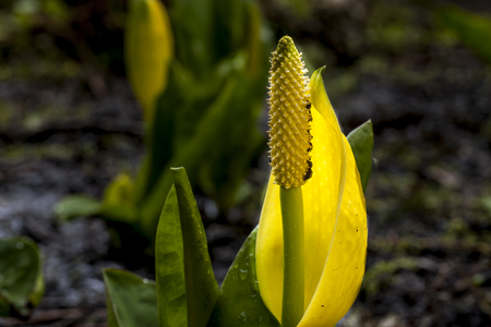 hayden: A close up of a pretty but smelly flower from the skunk cabbage in north Idaho.