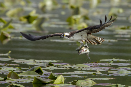 Osprey just caught a fish in Fernan Lake in North Idaho.