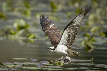 Osprey catches fish in claws in Fernan Lake in North Idaho.