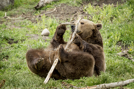 Captive grizzly lays down and plays with stick near Bozeman, Montana. Фото со стока
