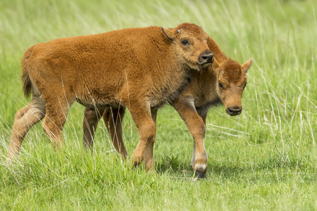 Playful young bison calves interacting with each other near Custer, South Dakota.