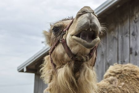 A close up view of looking up at an adult camel near Monroe, Indiana.
