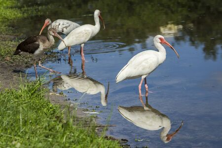 Several American White Ibises wade in the calm water in Deland, Florida.