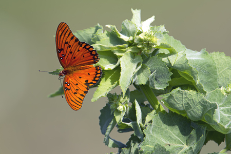 A close up of a gulf fritillary butterfly in Deland, Florida. Stock Photo
