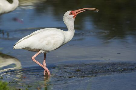 Ibis swallows down water in Deland, Florida.