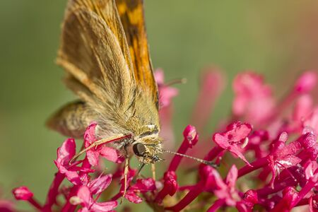 Small moth on flower. A close up of a small brown skipper moth on a flower in Idaho.