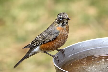 An American robin is perched on the side of a bird bath.
