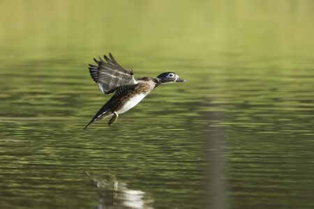 A female wood duck comes in for a landing in the pond at Cannon Hill Park in Spokane, Washington.