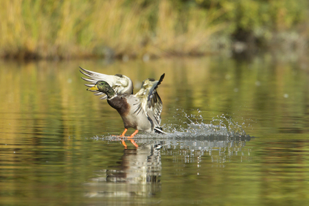 A mallard makes a splash landing in a pond in Cannon Hill Park in Spokane, Washington.