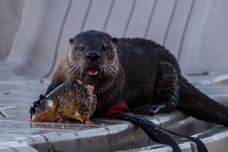 Otter chewing on a piece of fish at Hauser Lake, Idaho.