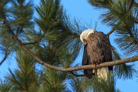 An American bald eagle preens itself while perched on a branch near Coeur dAlene, Idaho.