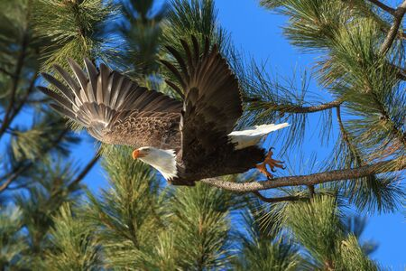 Eagle flies off from branch in search of food near Coeur d'Alene, Idaho.