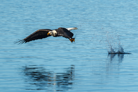 Eagle flies off with its catch in the calm blue water of Coeur dAlene, Lake in Idaho.