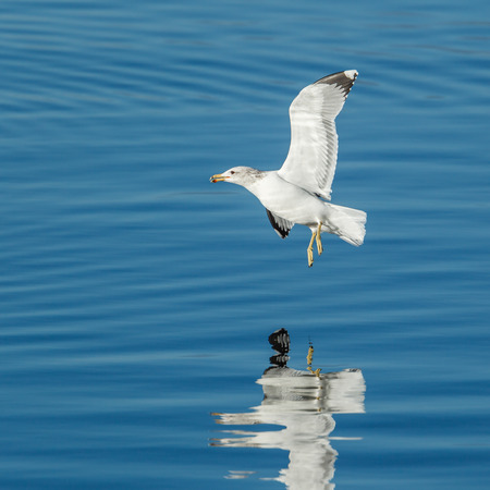 Gull hovers just above the water above Coeur dAlene, Lake in Idaho.