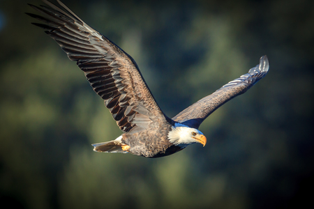Bald eagle flying in the sky.
