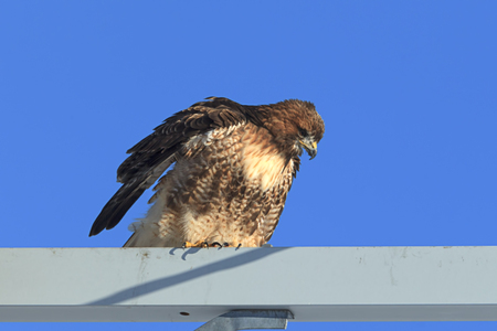 Side view of red tailed hawk against a blue sky on the Rathdrum Prairie in north Idaho. Stock Photo
