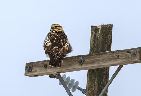 Hawk looking back the other way near Davenport, Washington. Stock Photo