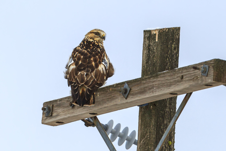 Perched hawk looks at camera near Davenport, Washington.