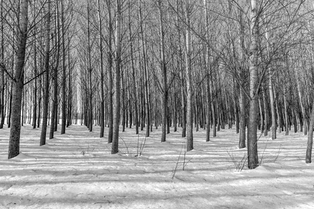 A black and white image of rows of barren trees in winter near Coeur dAlene, Idaho. Stock Photo
