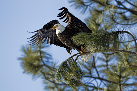 An alert eagle takes flight from on a branch near Coeur dAlene, Idaho.