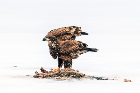 Immature bald eagle flutters wings by dead animal on the frozen Hauser Lake in Idaho.
