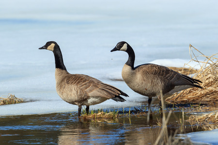 A pair of Canadian geese are by a frozen pond in Hauser, Idaho. Stock Photo
