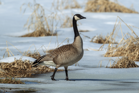 A Canadian goose walks on partly frozen pond in Hauser, Idaho.