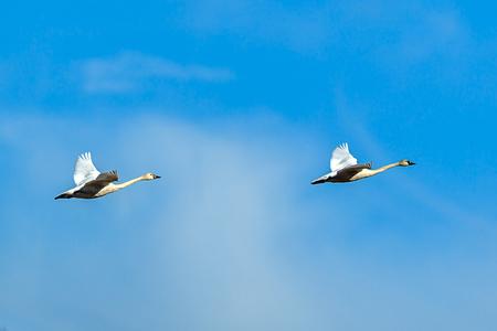 Two tundra swans in the sky near Kilarney Lake in north Idaho.