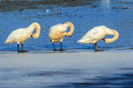 Tundra swans grooming themselves while standing on ice in north Idaho. Stock Photo