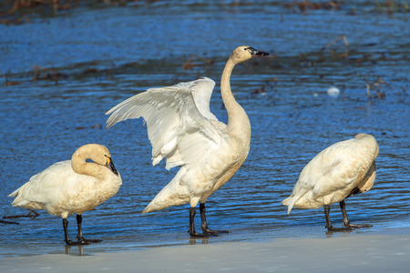 A tundra swan between two other swans is flapping its wings in north Idaho.