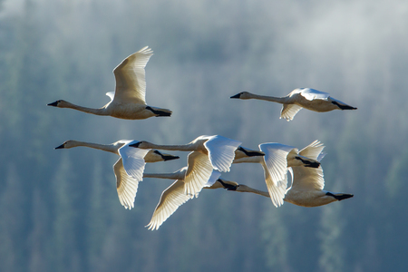 Tundra swans flying in formation near Kilarney Lake in north Idaho.