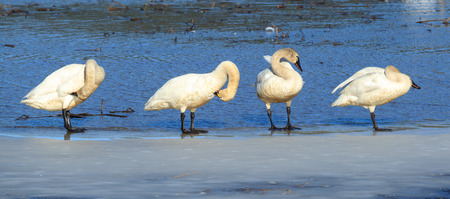 Panorama of Tundra swans grooming themselves while standing on ice in north Idaho.