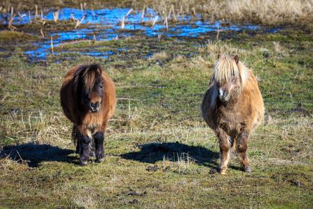 Two cute miniature horses portrait in a field near Harrison, Idaho.