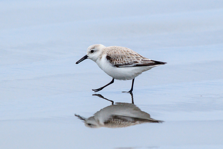 A sanderling on Del Ray beach walking around just north of Seaside, Oregon.