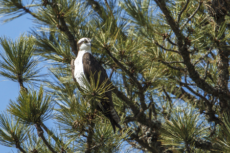 A majestic osprey (pandion haliaetus) is perched in a tree by Fernan Lake in north Idaho.
