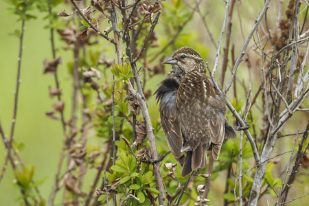 A song sparrow (melospiza melodia) is perched in a bush in Hauser, Idaho.