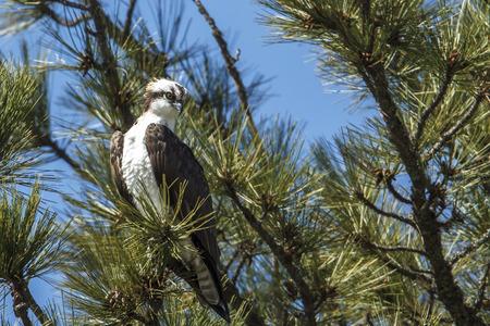 A majestic osprey is perched in a tree by Fernan Lake in north Idaho. Фото со стока