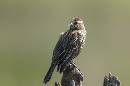 Close up of a song sparrow (melospiza melodia) perched on a post by Hauser Lake, Idaho.