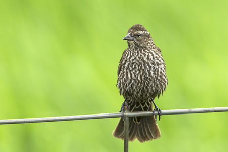 Song sparrow (melospiza melodia) perched on a wire fence by Hauser Lake, Idaho. Foto de archivo - 103895308