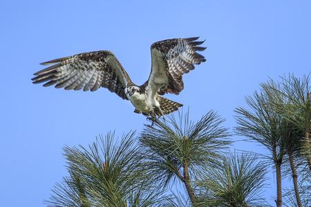 An osprey (pandion haliaetus) takes flight from a branch by Fernan Lake in north Idaho.